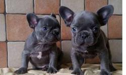 Buoyant M/F French Bulldog Puppies Available