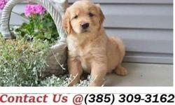 Buoyant M/F Golden Retriever Puppies Available