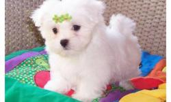 bxgxdgrd X Mas Maltese puppies ready to go home now