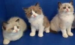 Calm M/F Ragdoll Kittens For Sale
