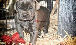 "cane corso girl"" full package"" wow"