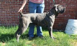 Cane Corso Puppies - Champion Bloodline