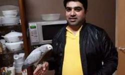 Caooi Congo African Grey Parrots For New Home