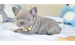 Capable Girl and Boy French Bulldog Puppies