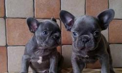 Capable M/F French Bulldog Puppies Available