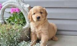 Capable M/F Golden Retriever Puppies Available