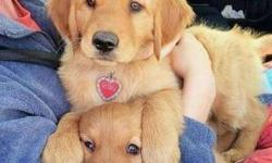 Capable Male and Female Golden Retriever Puppies For Sale