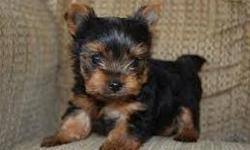 ccbj Cute Teacup Yorkie Puppies ckh