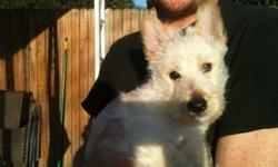 CCCCHD Scottish Terrier Puppies For Sale