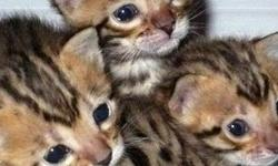 Cfa-Tica Bengal Kittens ready to go