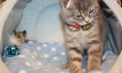 CFA-TICA Scottish Fold Kittens