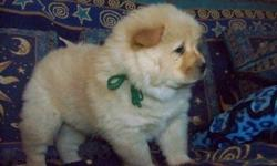 cghbgfjhgf Chow Chow Puppies M/F Available