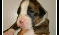 Ch .Boxer puppy