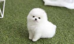 Charming TEACUP Pomeranian Puppies