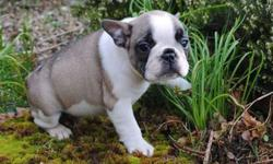 Chaste Blue French Bulldog Puppies