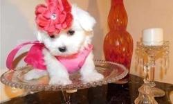 Chaste TEACUP Maltese Puppies