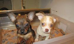 Chihuahua puppies 12 weeks, 1st shots, wormed