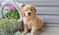 Chivalrous M/F Golden Retriever Puppies Available
