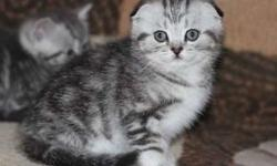 Chivalrous M/F Scottish Fold kittens For Sale