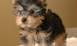 Chunky Adorable Yorkie Puppies Ready