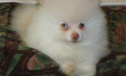 Chunky White Pomeranian Puppy Girl Now Available