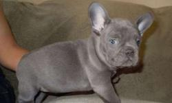 Civil Micro Blue French Bulldog Puppies