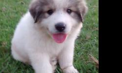 CKC Great Pyrenees Male