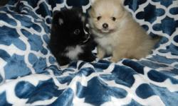 CKC Reg. Pomeranian Male Puppies