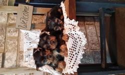 CKC Registerable Purebred Yorkie Pups -