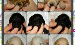 Ckc registered f1b labradoodle puppies