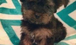 Ckc Teacup Yorkies waiting forever home