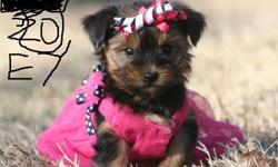 CKC Yorkie Puppies(Male and Female)