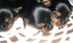 ckc yorkie puppies ready for deposits