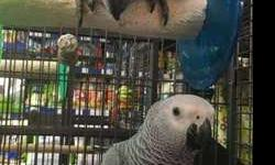 classee Tamed African Grey Parrots With Cage