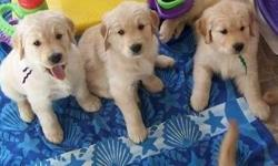 Clean Male and Female Golden Retriever Puppies Available