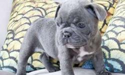 clean Male/Female French Bulldog Puppies For Sale