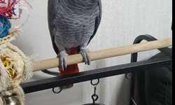 COCII Congo African Grey Parrots For New Home