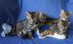 Considerate Bengal kittens For Sale