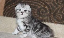cooperative M/F Scottish Fold kittens For Sale