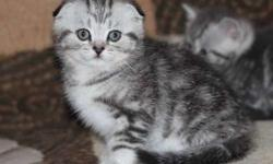 Courageous M/F Scottish Fold kittens For Sale
