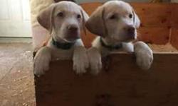 Cream colored lab puppies
