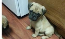 **..Cute AKC Pug Puppies Available**