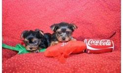 Cute and Lovely AKC register Yorkie Puppies