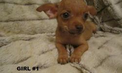 Cute Chihuahua Puppies, 10 wks, 1st shots, wormed