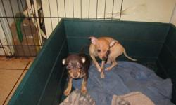 Cute Chihuahua Puppies, 11 wks, 1st shots, wormed