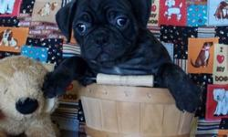 Cute Little Bug Puppies! Pug/Boston Lots of wrinkles