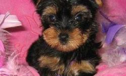 Cute Tan Yorkie Puppies Loving Family