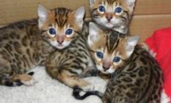 Cutess Bengal Kittens Available