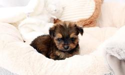 Cutest Teacup Morkie Puppies Available