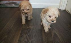 cvvx Cute and Lovely Poodle Ready